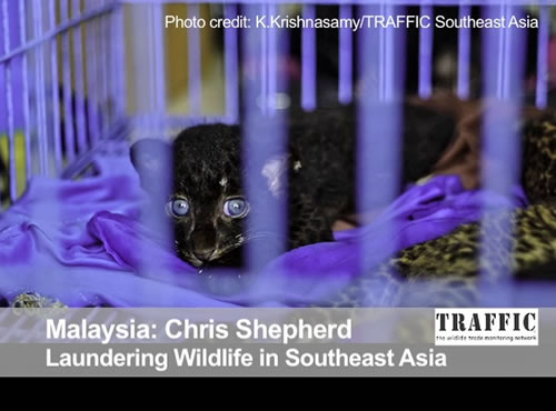 Laundering Wildlife in Southeast Asia, Behind the Schemes Episode 6
