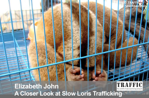A Closer Look At Slow Loris Trafficking