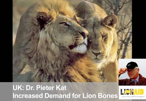 African lions threatened by trophy hunting and traditional Chinese medicine